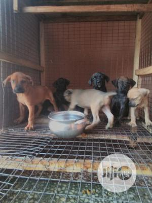 1-3 Month Female Mixed Breed Boerboel | Dogs & Puppies for sale in Lagos State, Ikotun/Igando