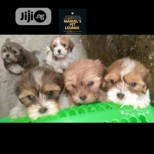 1-3 Month Male Purebred Lhasa Apso | Dogs & Puppies for sale in Lagos State, Agege