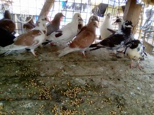 Pigeon For Sale | Birds for sale in Lagos State, Ikorodu