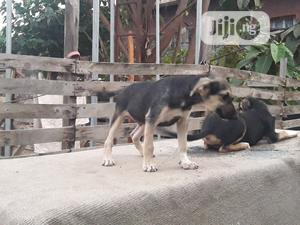 1-3 month Male Mixed Breed German Shepherd | Dogs & Puppies for sale in Lagos State, Ifako-Ijaiye