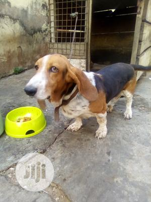 1+ year Male Purebred Basset Hound | Dogs & Puppies for sale in Oyo State, Ibadan