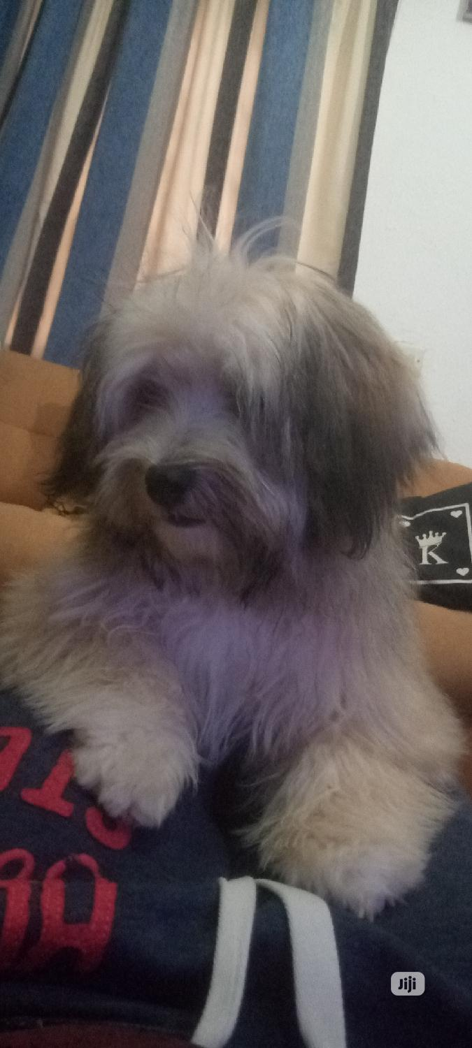 Archive: 1+ Year Male Purebred Lhasa Apso