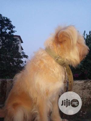 1-3 Month Female Purebred Australian Terrier | Dogs & Puppies for sale in Ogun State, Ado-Odo/Ota