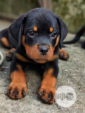 1-3 Month Male Purebred Rottweiler | Dogs & Puppies for sale in Ogun State, Abeokuta South