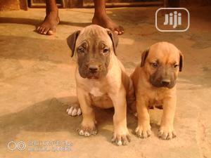 1-3 Month Female Purebred Boerboel | Dogs & Puppies for sale in Lagos State, Agege