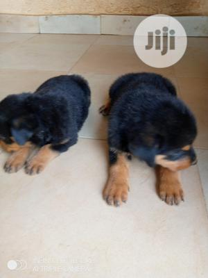1-3 Month Female Purebred Rottweiler | Dogs & Puppies for sale in Kwara State, Ilorin South