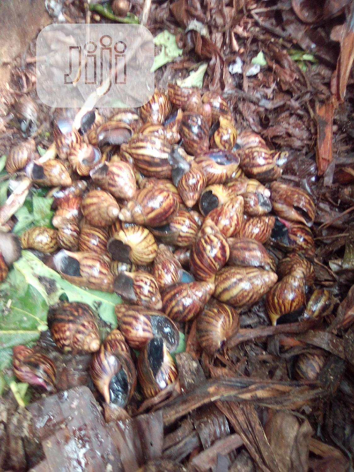 Healthy Snails for Sale   Other Animals for sale in Ado-Odo/Ota, Ogun State, Nigeria