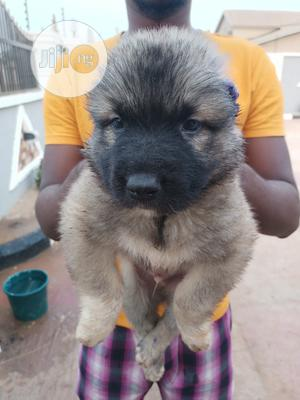 0-1 Month Female Purebred Caucasian Shepherd   Dogs & Puppies for sale in Oyo State, Ibadan
