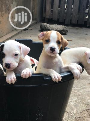 1-3 Month Female Purebred American Pit Bull Terrier   Dogs & Puppies for sale in Lagos State, Abule Egba