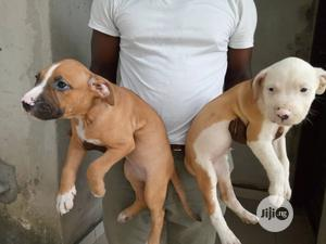 1-3 month Male Purebred American Pit Bull Terrier   Dogs & Puppies for sale in Rivers State, Port-Harcourt