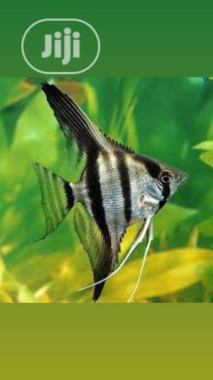 Angel Fishes for You and Your Family   Fish for sale in Lagos State, Surulere
