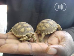 Tortoise For Sale | Reptiles for sale in Abuja (FCT) State, Zuba