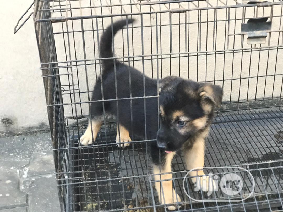 1-3 Month Female Purebred German Shepherd | Dogs & Puppies for sale in Ifako-Ijaiye, Lagos State, Nigeria