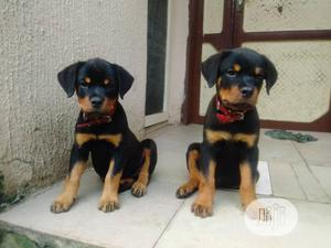 1-3 Month Female Purebred Rottweiler | Dogs & Puppies for sale in Rivers State, Port-Harcourt
