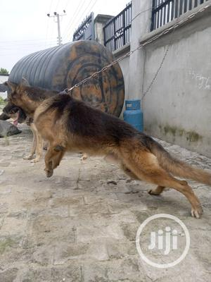 6-12 Month Male Purebred German Shepherd | Dogs & Puppies for sale in Rivers State, Port-Harcourt