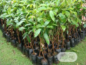 Mango Plant Seedlings   Feeds, Supplements & Seeds for sale in Oyo State, Lagelu