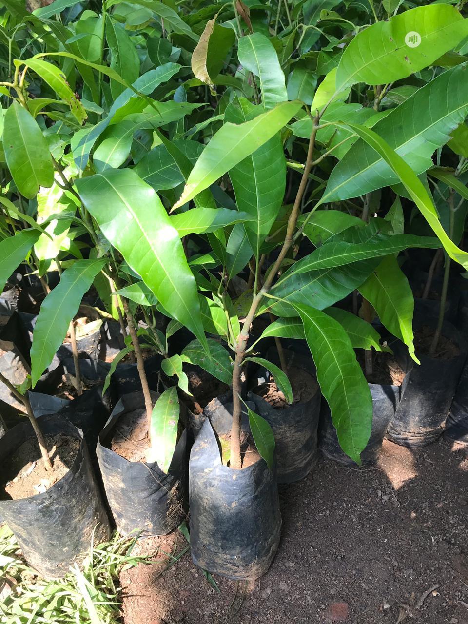 Archive: Mango Plant Seedlings