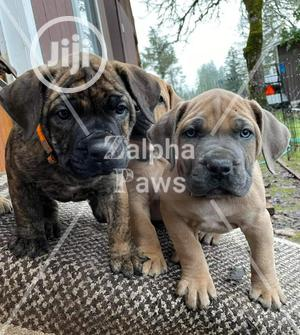 1-3 month Male Purebred Boerboel | Dogs & Puppies for sale in Lagos State, Isolo