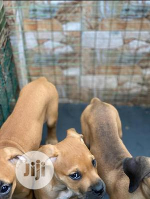 0-1 Month Female Purebred Boerboel | Dogs & Puppies for sale in Lagos State, Surulere