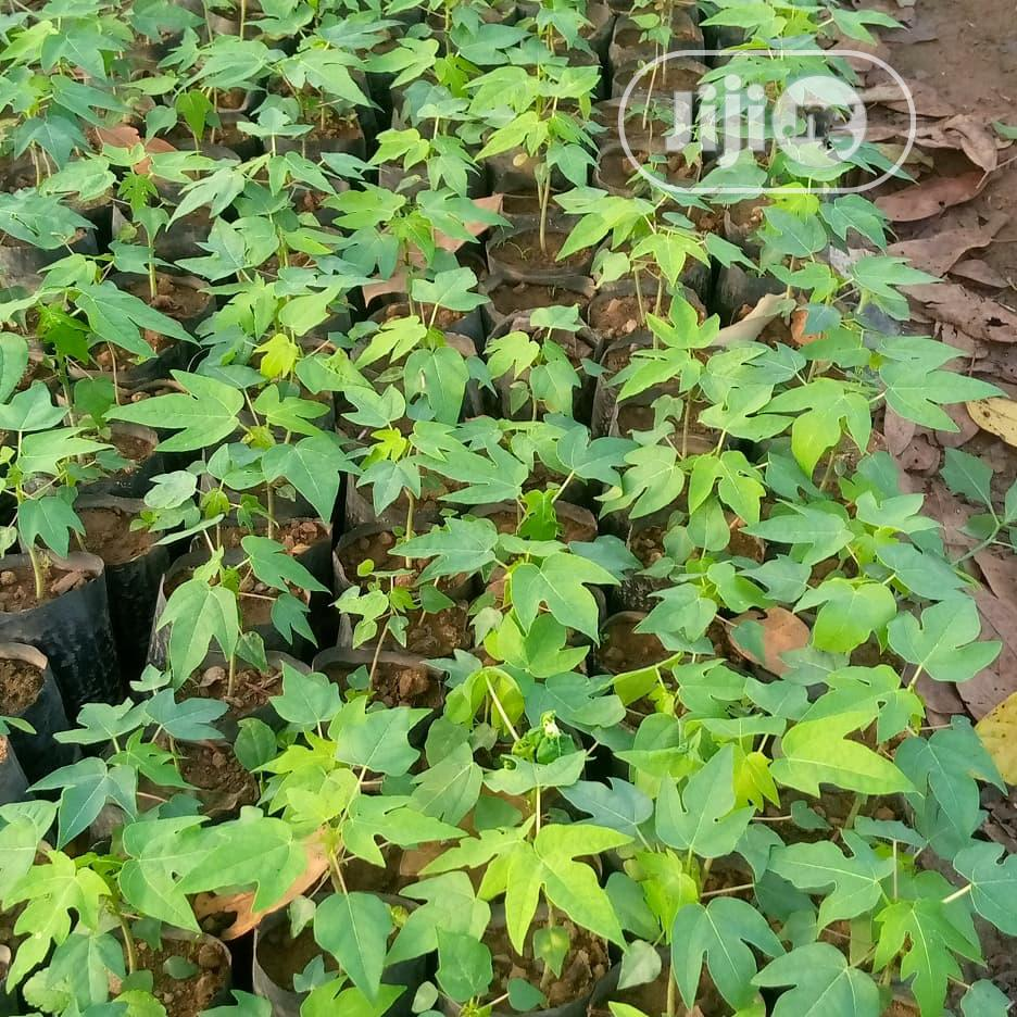 Archive: Dwarf Pawpaw Seedlings for Sale at Affordable Price