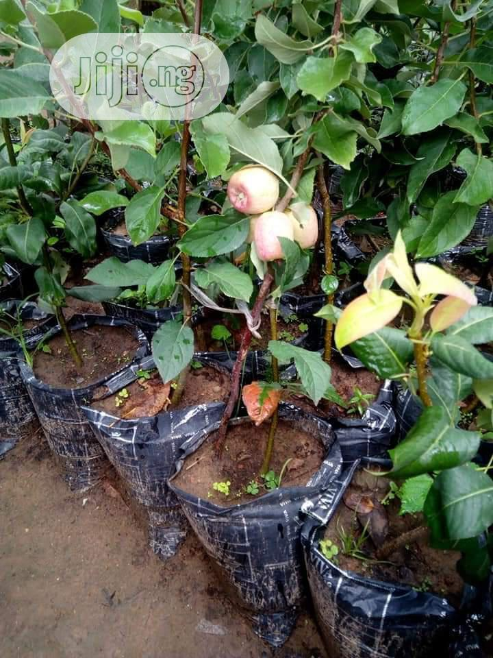 Apple Seedlings Are for Sale | Feeds, Supplements & Seeds for sale in Ibadan, Oyo State, Nigeria