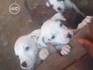 1-3 Month Female Purebred American Pit Bull Terrier   Dogs & Puppies for sale in Lagos State, Alimosho