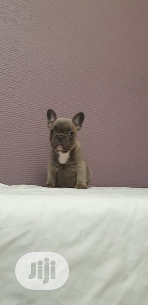 1-3 Month Female Purebred French Bulldog | Dogs & Puppies for sale in Lagos State, Ifako-Ijaiye