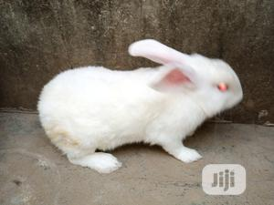 Fully Grown Male New Zealand   Other Animals for sale in Lagos State, Agege