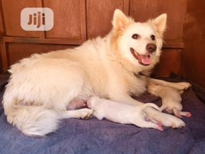 0-1 Month Female Purebred American Eskimo   Dogs & Puppies for sale in Abuja (FCT) State, Jikwoyi