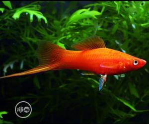 Swordtail Aquarium Fishes | Fish for sale in Lagos State, Surulere