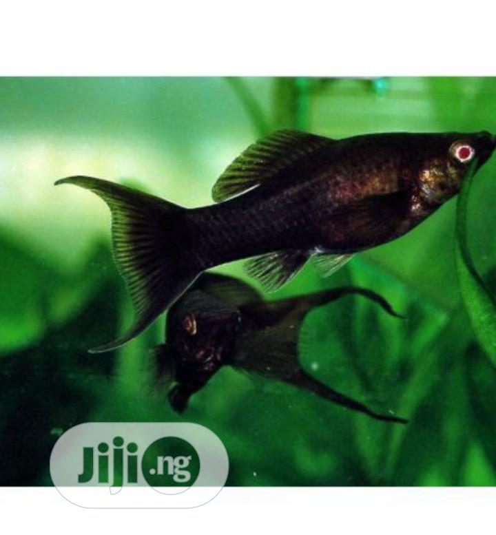 Black Molly Fish for Your Aquariums and Bowls