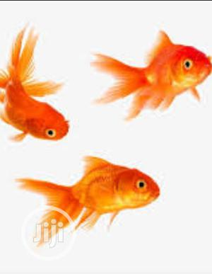 Aquarium and Bowl Gold Fish Available in All Size | Fish for sale in Lagos State, Surulere