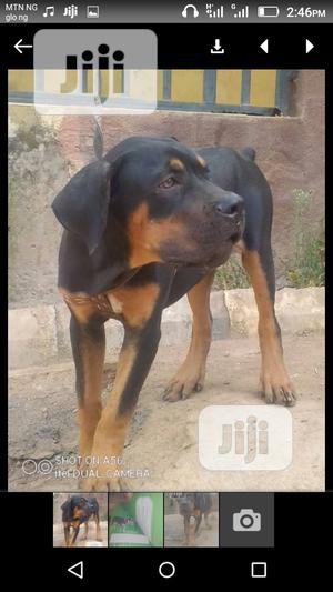 1+ Year Female Purebred Rottweiler | Dogs & Puppies for sale in Abuja (FCT) State, Central Business District