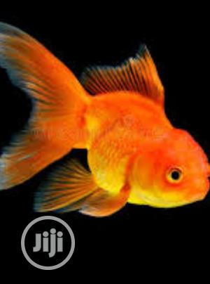 Aquarium Gold Fish Of All Kinds | Fish for sale in Lagos State, Surulere