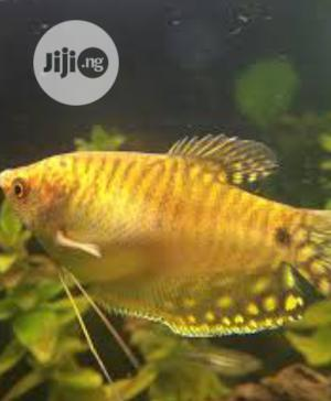 Aquarium and Bowl Yellow Gourami Available for Sale | Fish for sale in Lagos State, Surulere