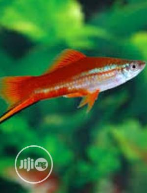Swordtail Aquarium Fish Available for Sale | Fish for sale in Lagos State, Surulere
