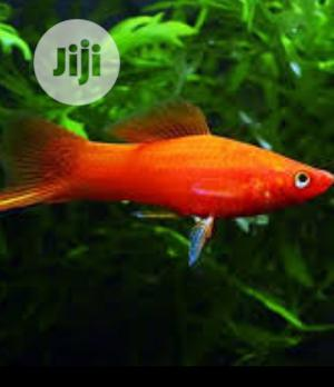 Swordtail Fish Available for Sale | Fish for sale in Lagos State, Surulere