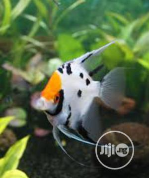 Angel Fish of All Kinds Available | Fish for sale in Lagos State, Surulere