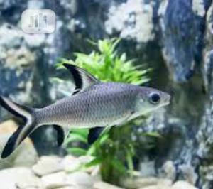 Bala Shark Fish | Fish for sale in Lagos State, Surulere