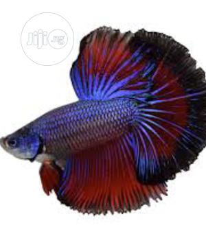 Beta Aquarium and Bowl Fish | Fish for sale in Lagos State, Surulere