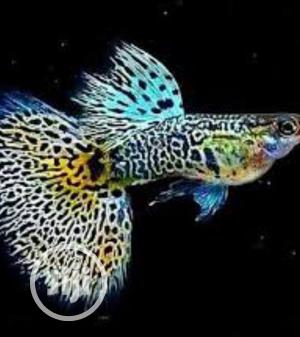 Guppy Aquarium Fish | Fish for sale in Lagos State, Surulere
