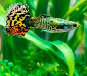 Guppy Fish for Ur Aquarium | Fish for sale in Lagos State, Surulere