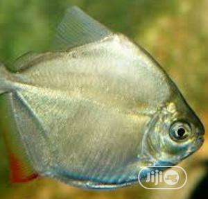 Silver Dollar Fish Available | Fish for sale in Lagos State, Surulere