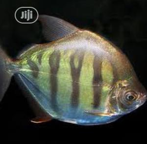 Tiger Silver Dollar Fish | Fish for sale in Lagos State, Surulere