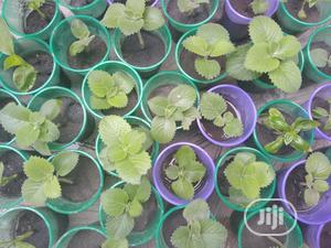Herb Seedlings(Oregano/Dill/Spearmint/Stevia/Tulsi | Feeds, Supplements & Seeds for sale in Lagos State, Ajah