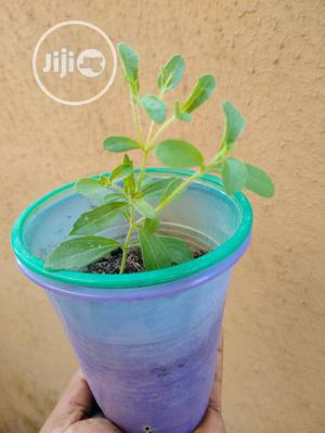 Sugar Stevia Seedling   Feeds, Supplements & Seeds for sale in Lagos State, Ajah