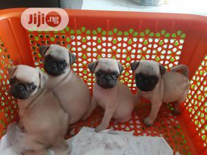 1-3 Month Male Purebred Pug | Dogs & Puppies for sale in Lagos State, Ifako-Ijaiye