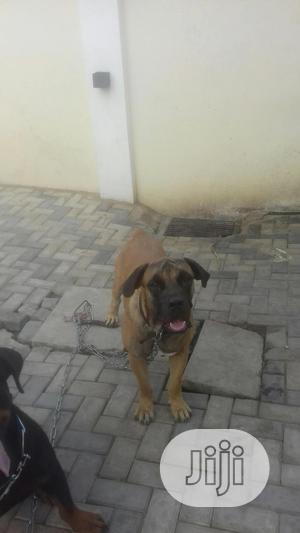 1+ Year Male Purebred Boerboel | Dogs & Puppies for sale in Oyo State, Ibadan