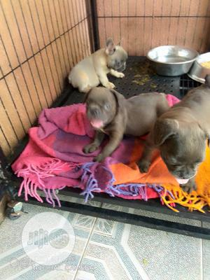 1-3 Month Female Purebred French Bulldog | Dogs & Puppies for sale in Lagos State, Isolo