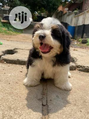 1-3 Month Male Purebred Lhasa Apso | Dogs & Puppies for sale in Lagos State, Isolo